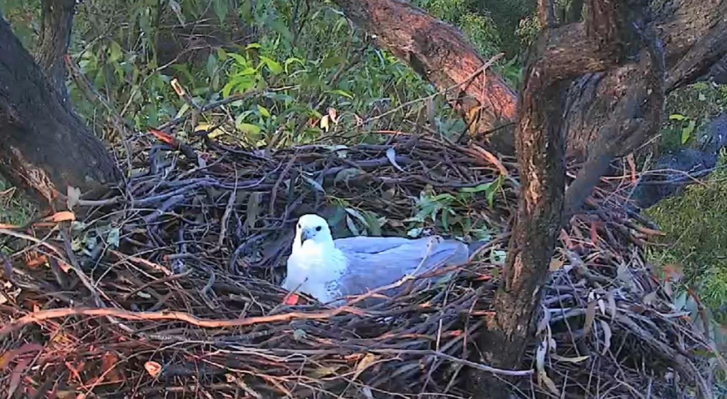 Sea-Eagle on nest.jpg